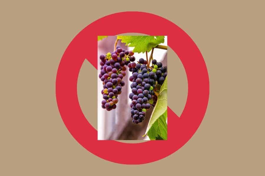 "Purple Grapes superimposed over Red ""No"" symbol indicating ""no grapes"""