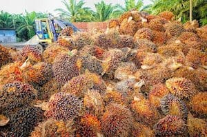 Palm Oil harvested on a palm oil plantation and under a net.