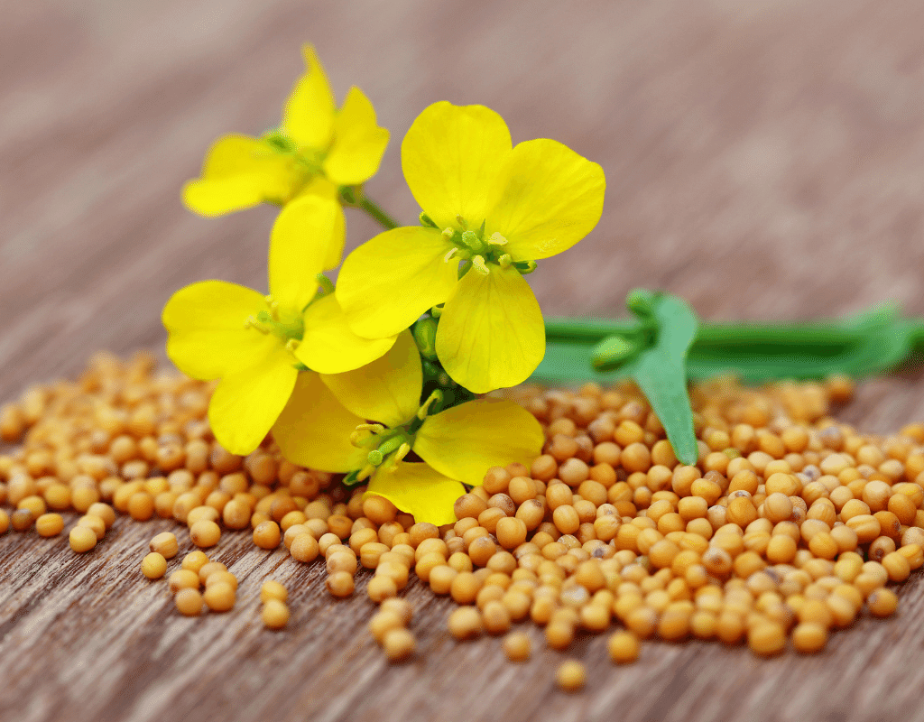 mustard seeds and mustard flower on wooden table
